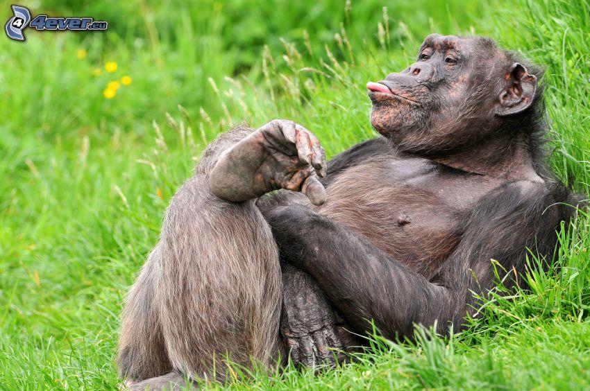 schimpans, räcka ut tungan, gräs, vila