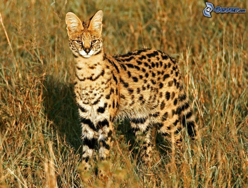 Serval, högt gräs