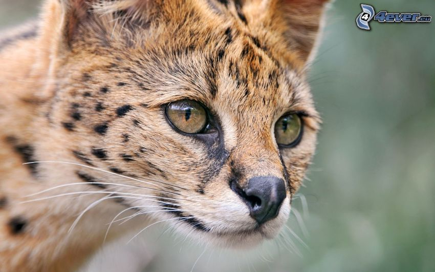 Serval, ögon