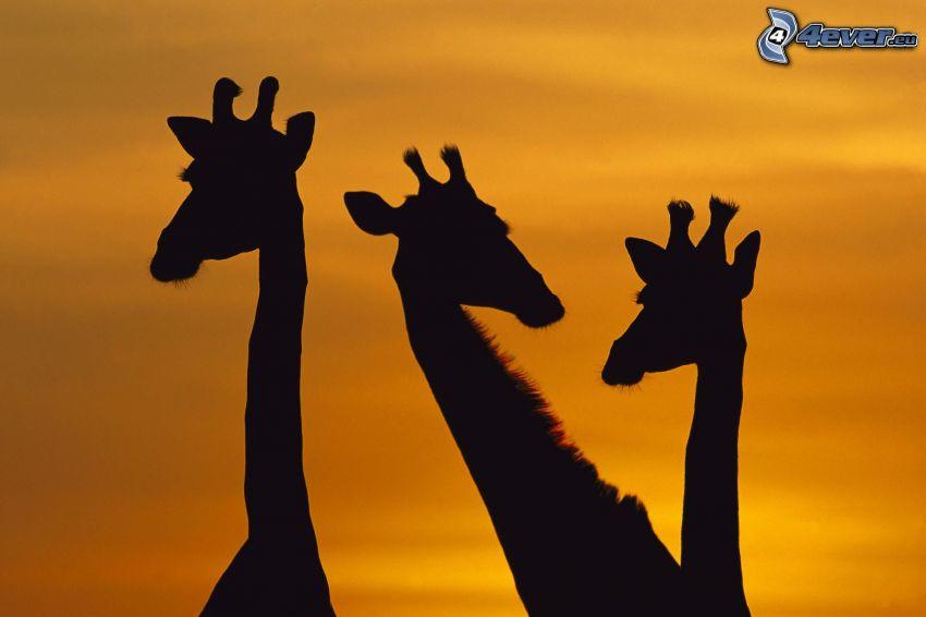 silhuetter av giraffer