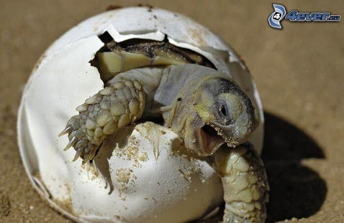 sköldpadda, ägg, kläckning av sköldpadda