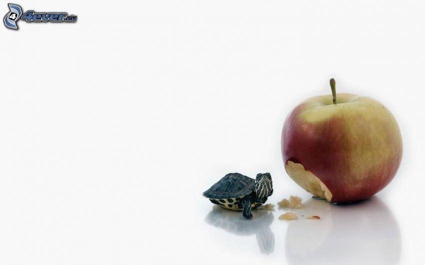 sköldpadda, äpple