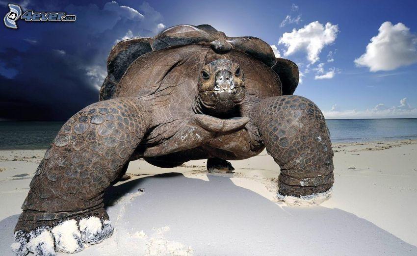 sköldpadda, sandstrand
