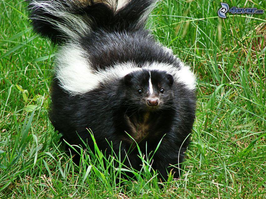 skunk, gräs