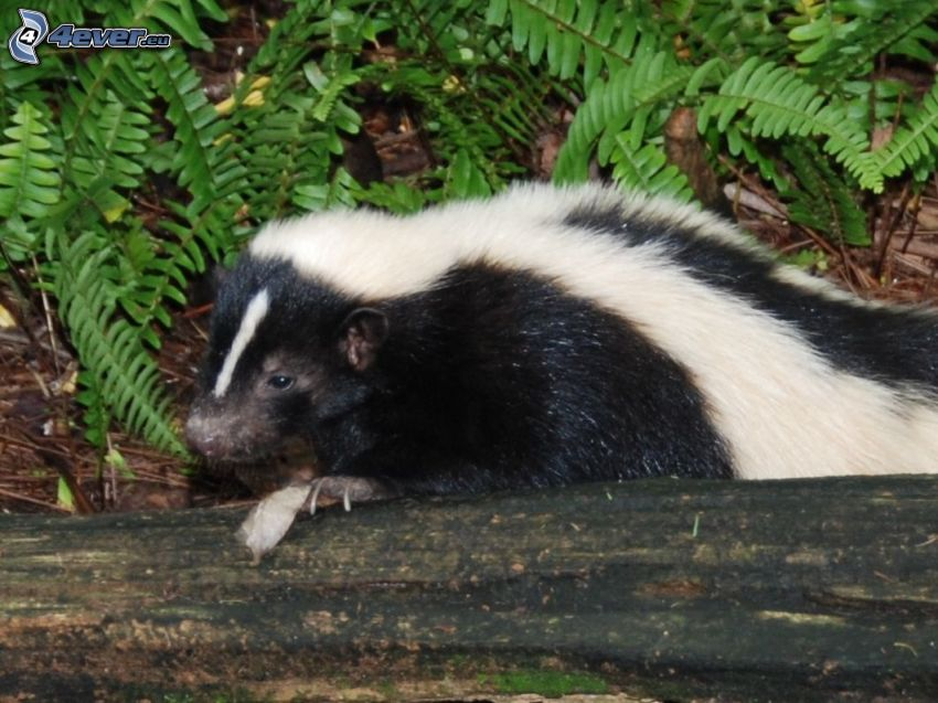 skunk, ormbunke