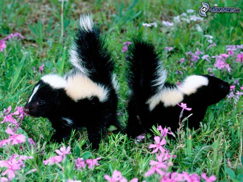 skunkar, lila blommor