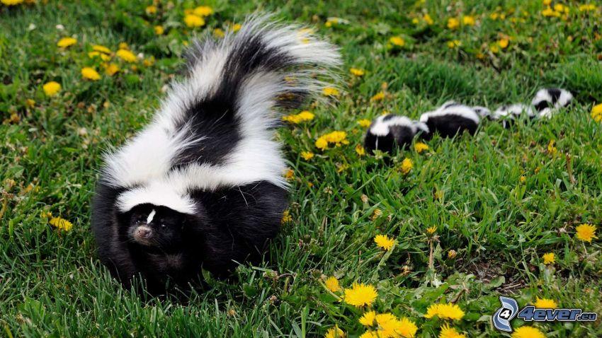 skunkar, ungar, maskrosor