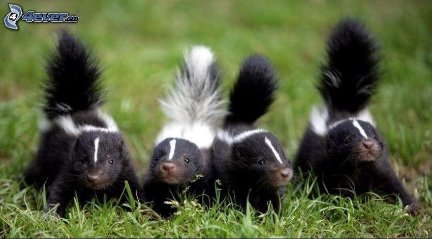 skunkar, ungar