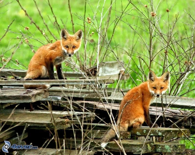 små rävar, brädor, grenar