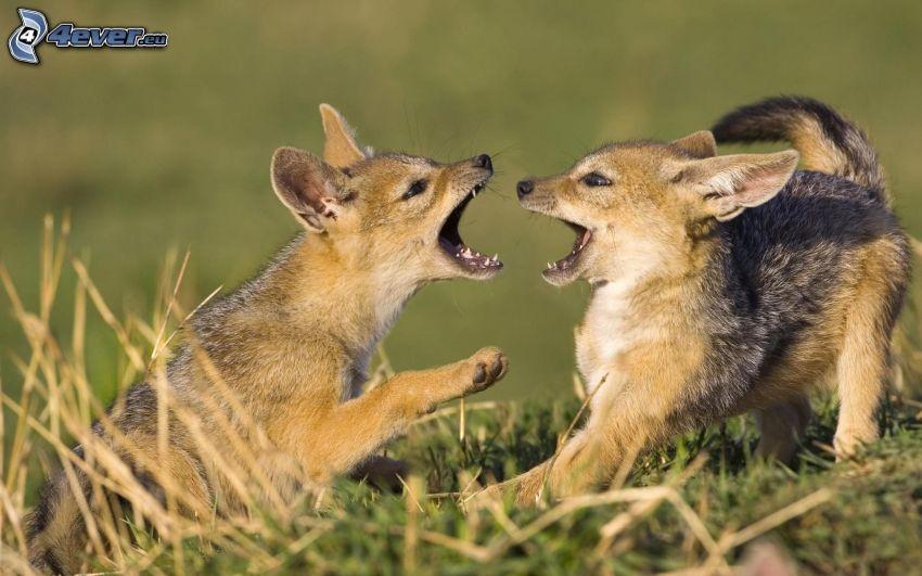 små rävar, ungar, spel