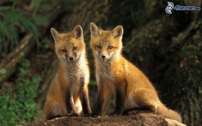små rävar, ungar, sten