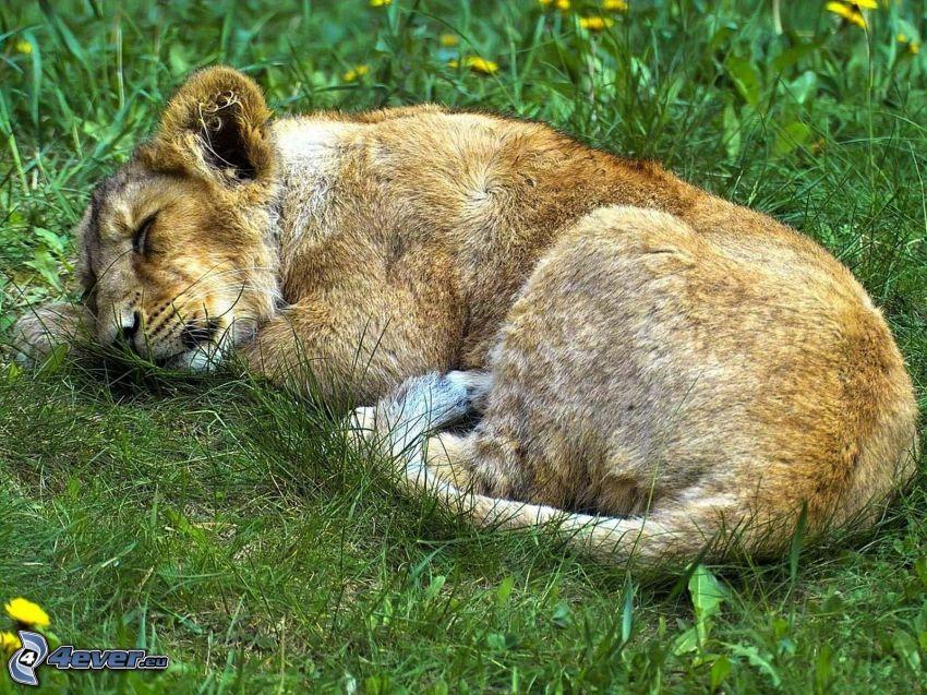 sovande lejonunge