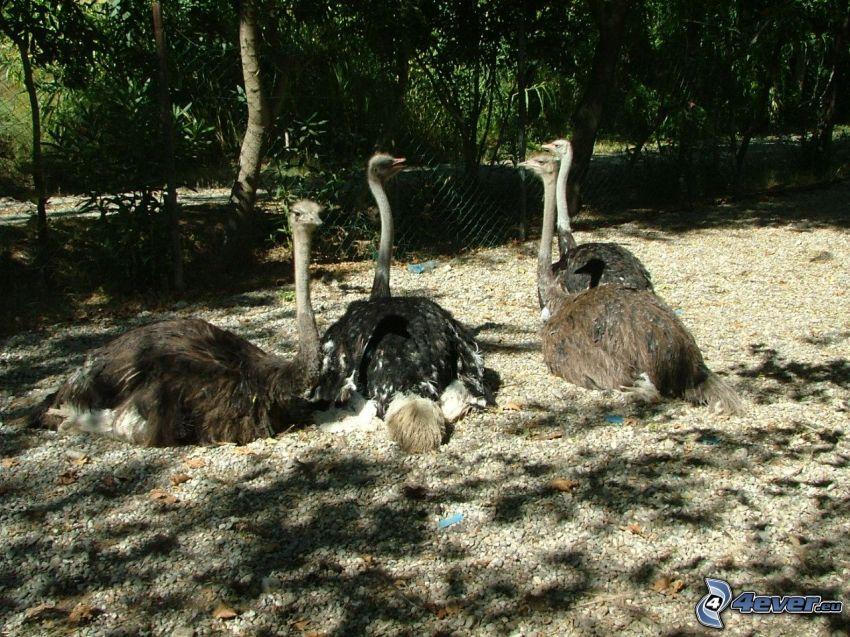 struts, fågel, emu