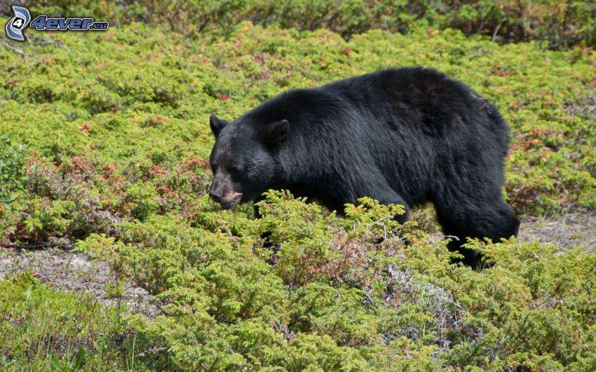 svart björn, buskar
