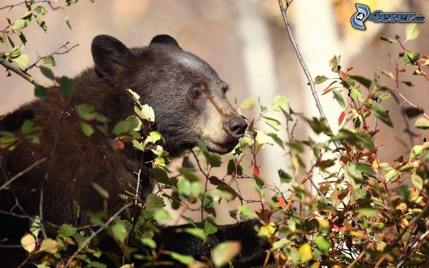 svart björn, buske