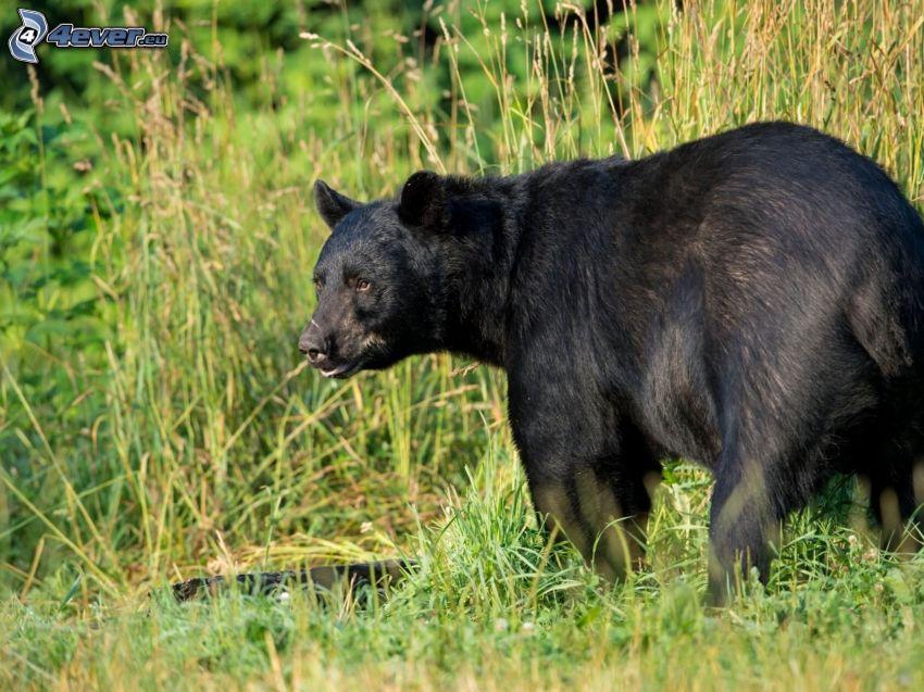 svart björn, högt gräs