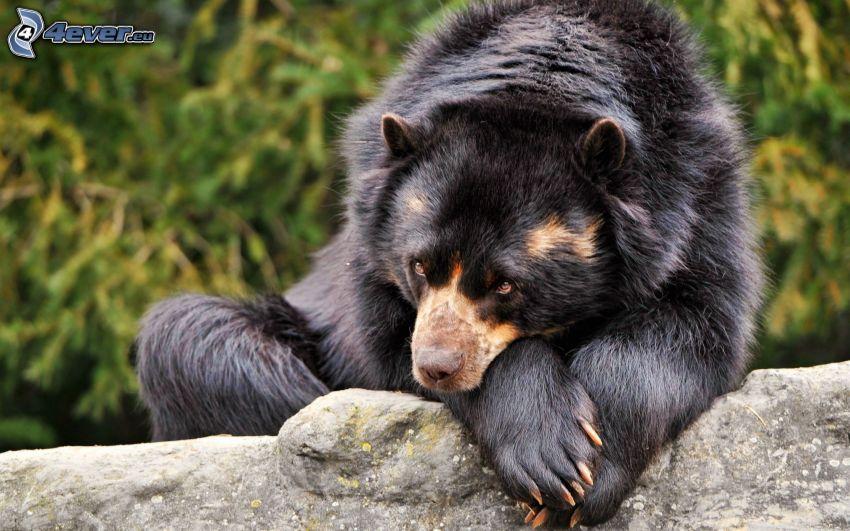 svart björn, klippa