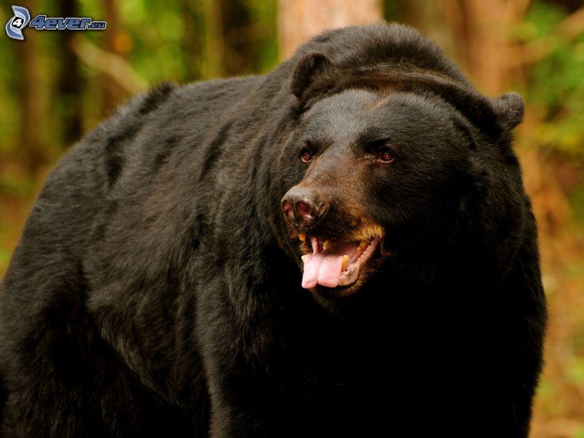svart björn, räcka ut tungan