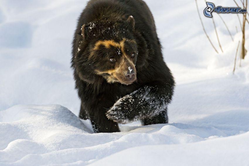 svart björn, snö