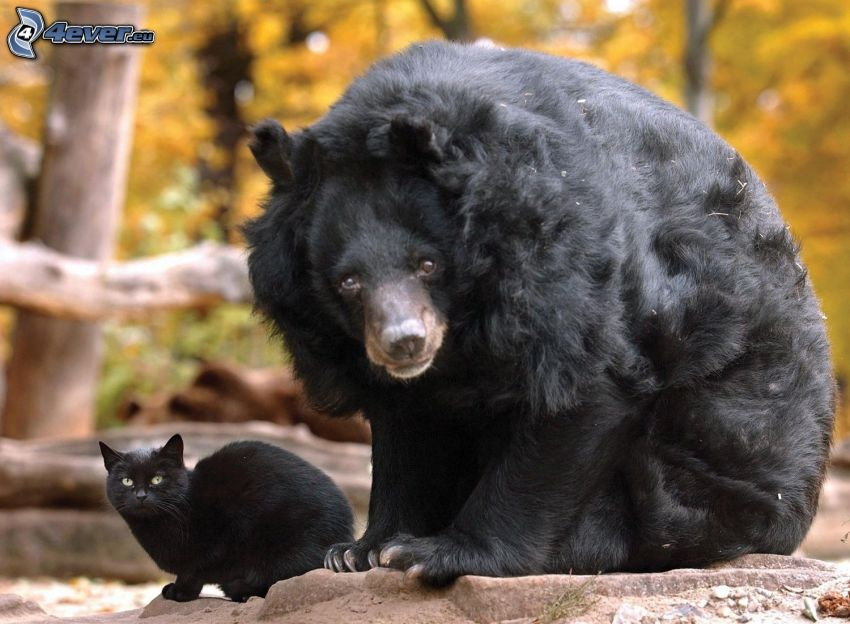 svart björn, svart katt