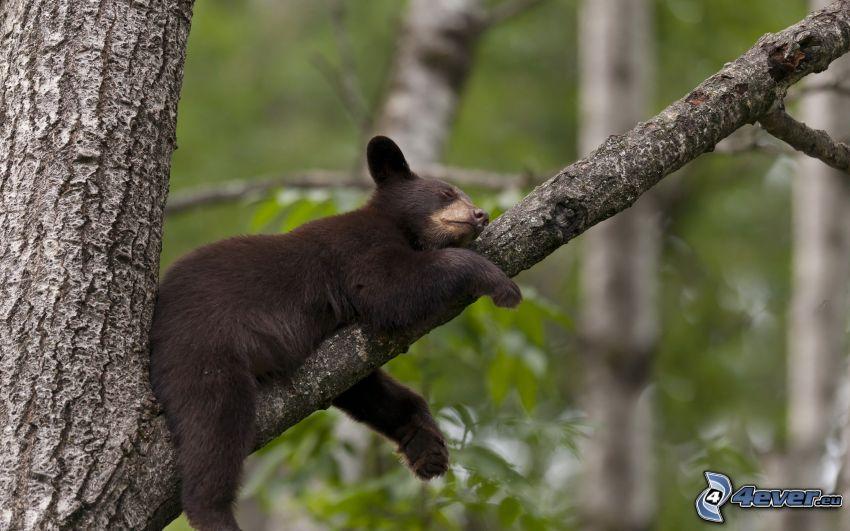 svart björn, unge, gren, sömn