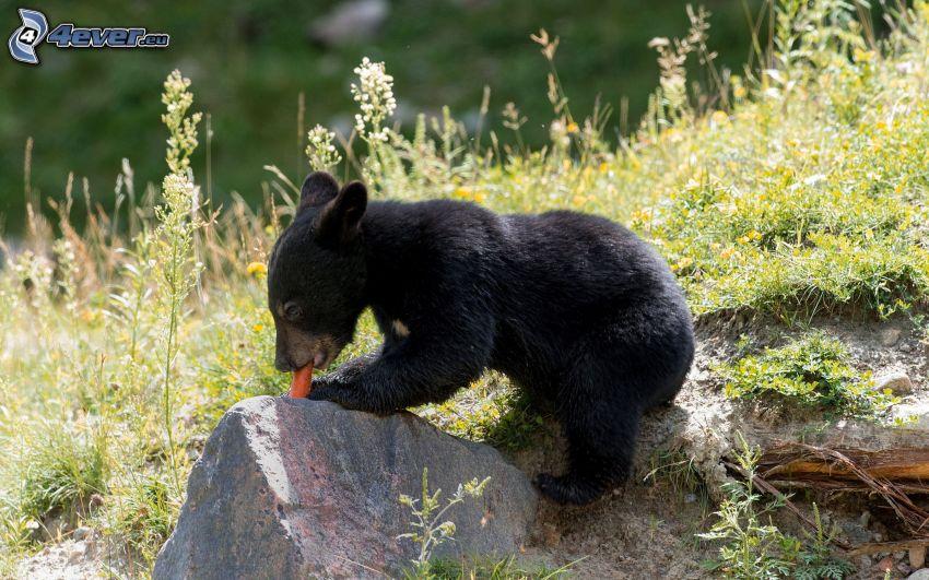 svart björn, unge, morötter