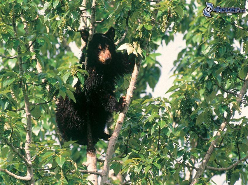 svart björn, unge, träd