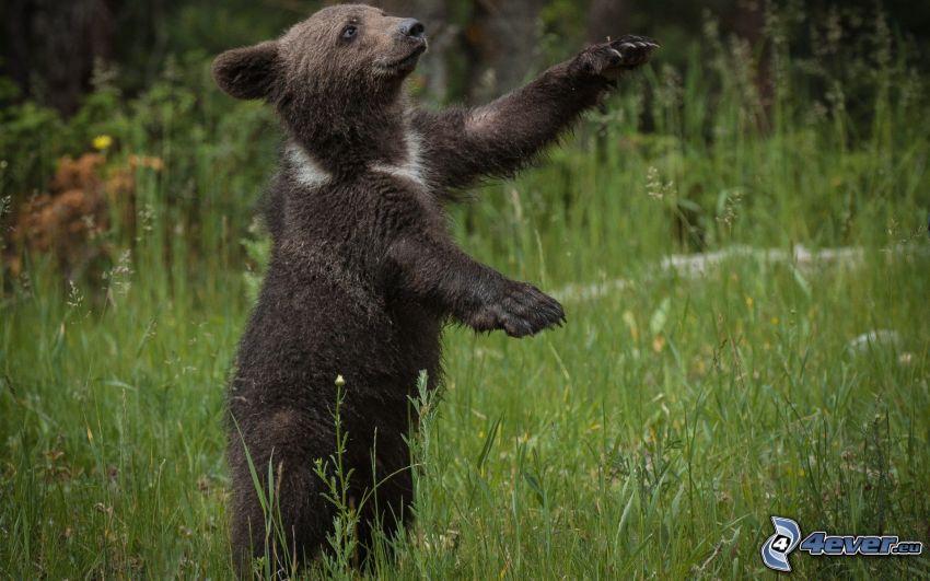 svart björn, unge