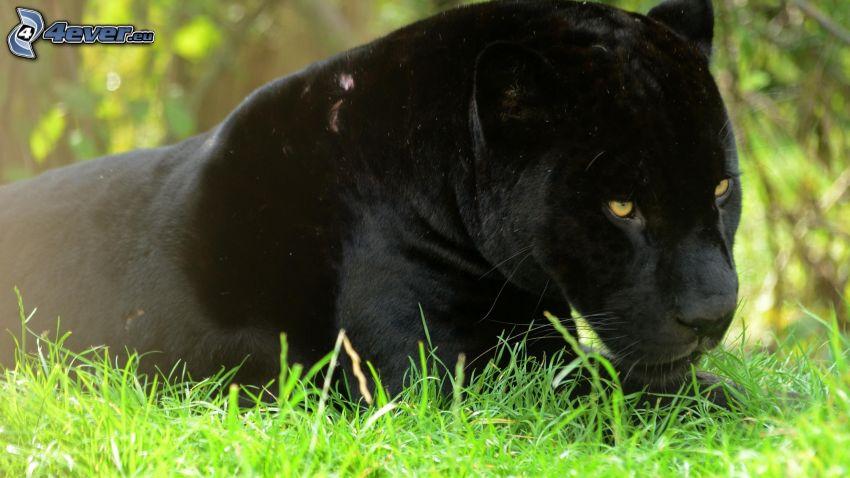 svart panter, grönt gräs
