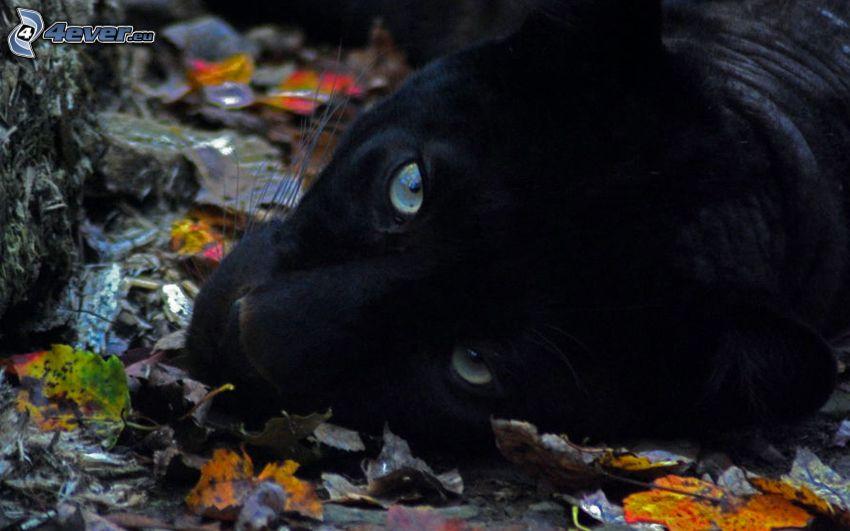 svart panter, höstlöv