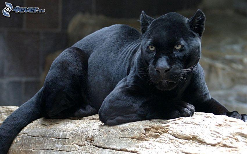 svart panter, klippa