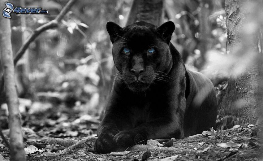 svart panter, svartvitt foto