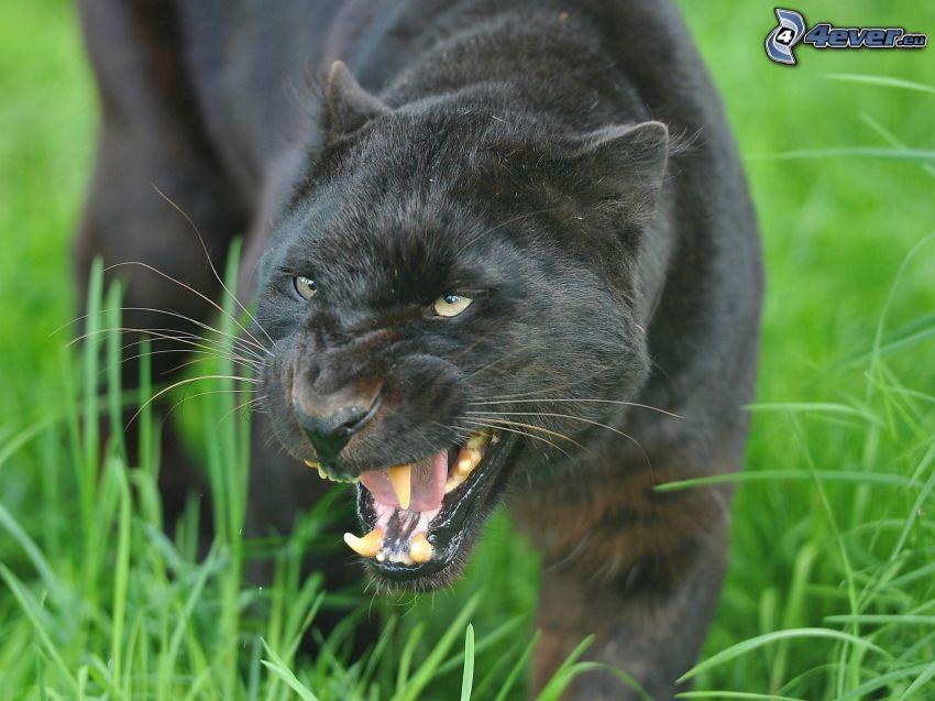 svart panter, tänder