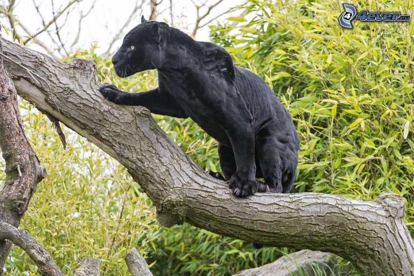 svart panter, träd