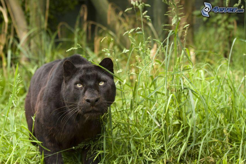 svart puma, grönt gräs