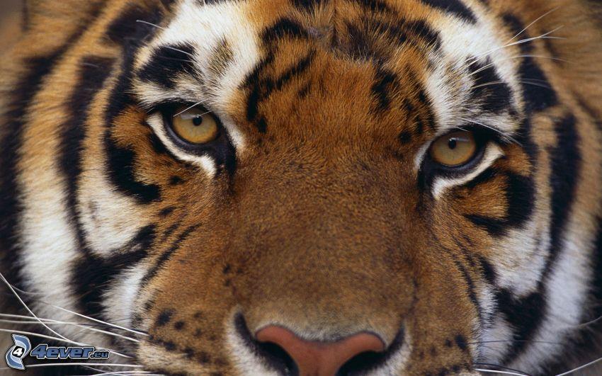 tiger, ansikte