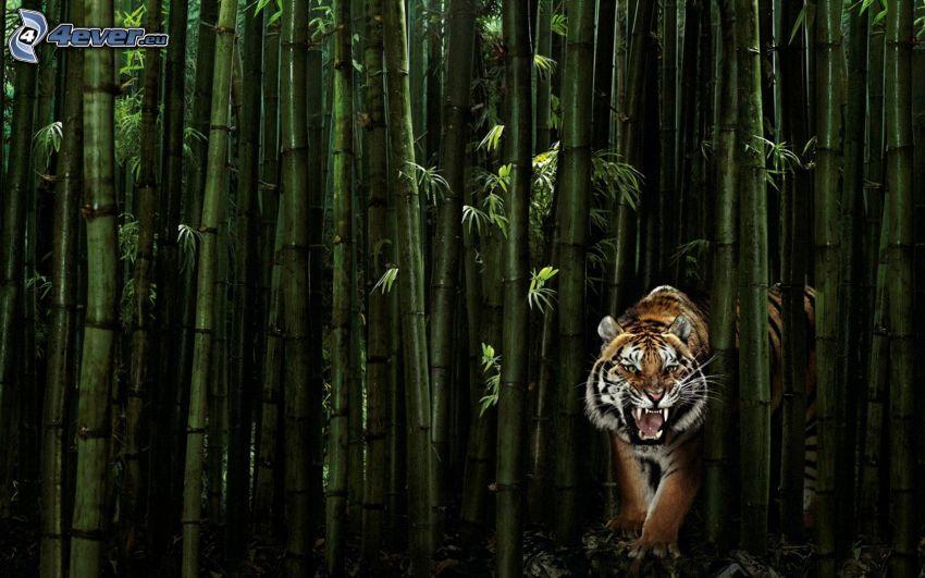 tiger, bambuskog