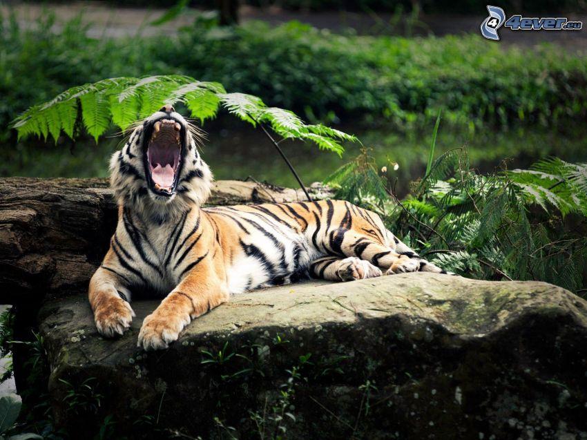 tiger, gäspning, grönska