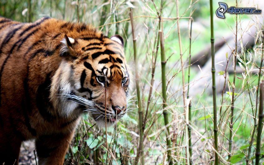 tiger, gräs, grässtrån