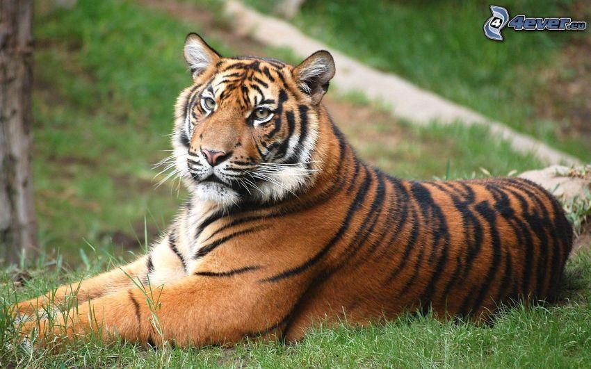 tiger, gräs
