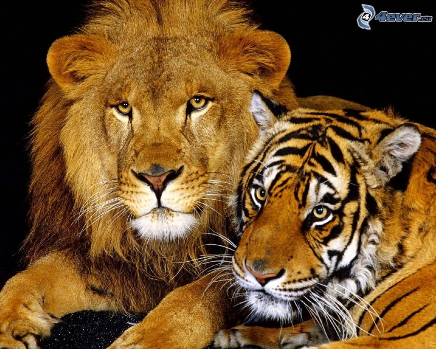 tiger, lejon
