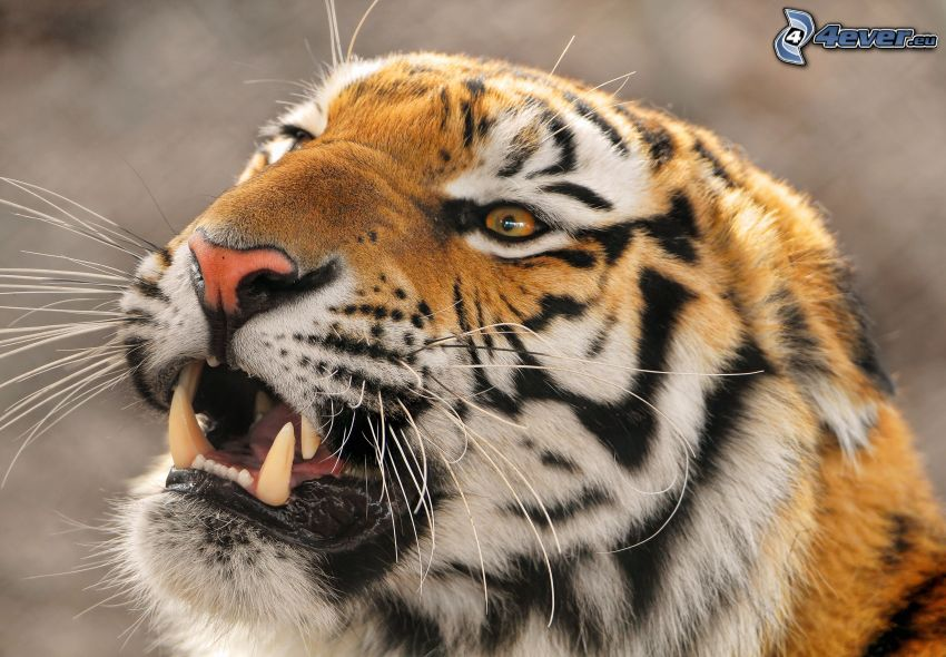 tiger, rovtänder