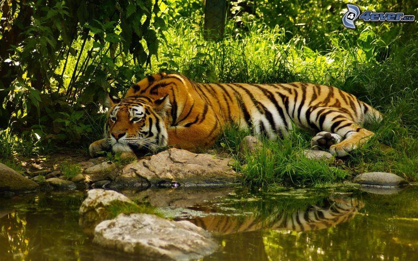 tiger, sjö, grönska, vila