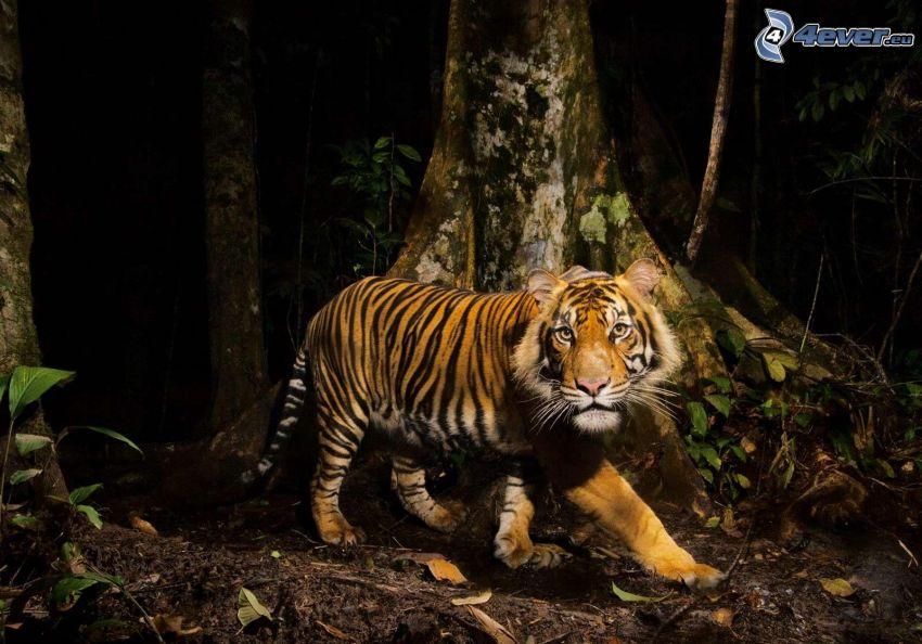 tiger, skog