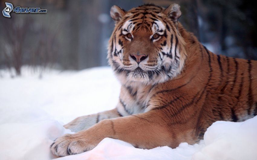 tiger, snö