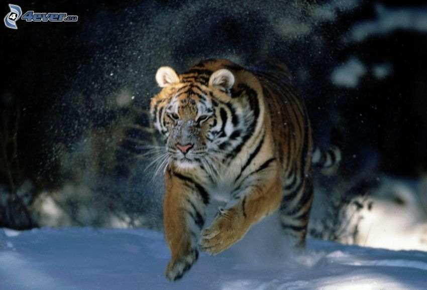tiger, springa, snö