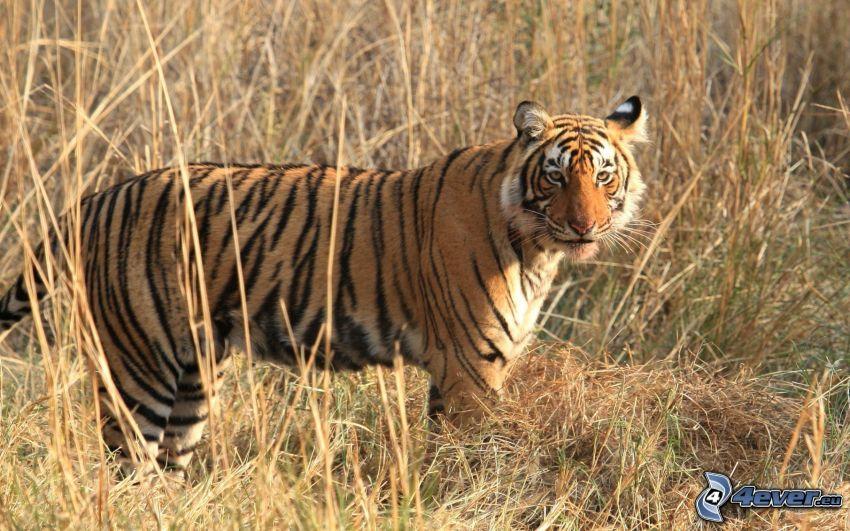 tiger, torrt gräs