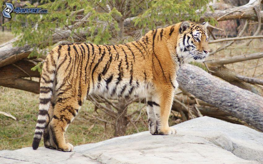 tiger, träd