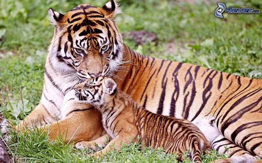 tiger, unge, gräs