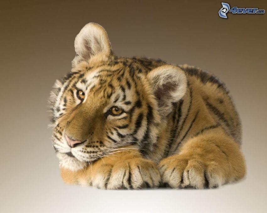 tiger, unge